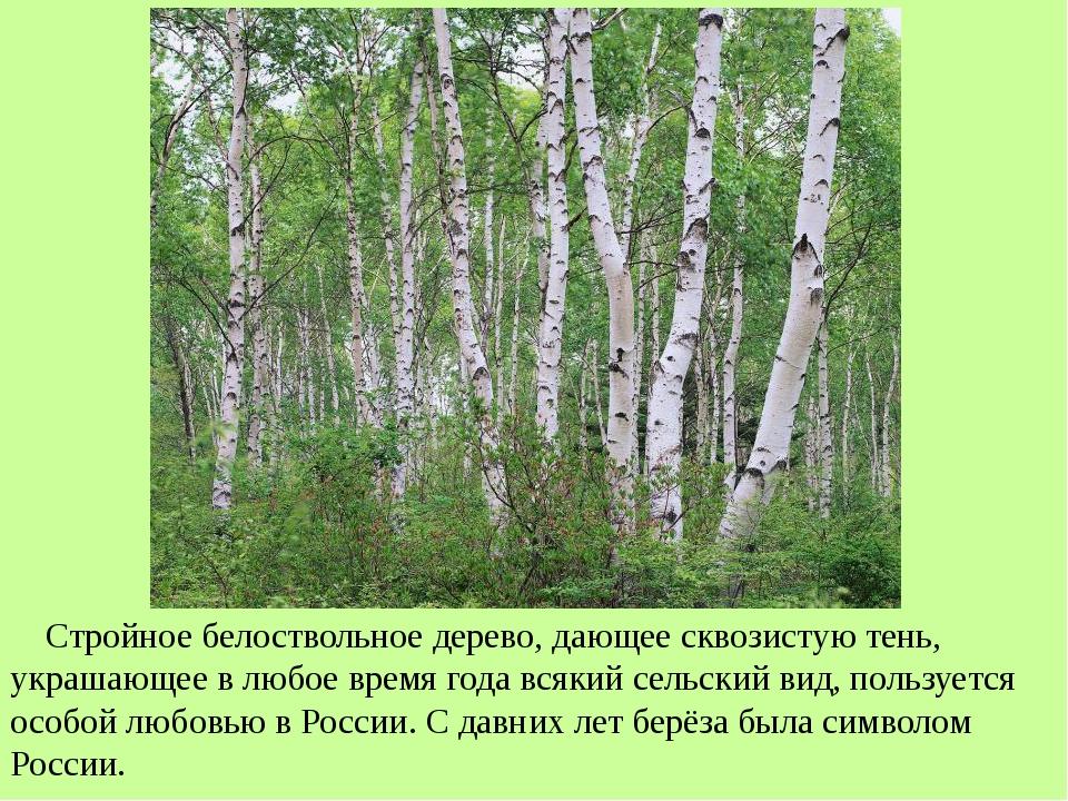 Стройное белоствольное дерево, дающее сквозистую тень, украшающее в любое вр...