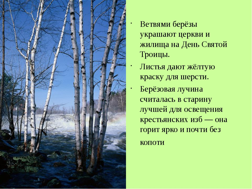 Ветвями берёзы украшают церкви и жилища на День Святой Троицы. Листья дают жё...