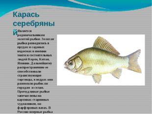 Карась серебряный Является родоначальником золотой рыбки. Золотая рыбка разво