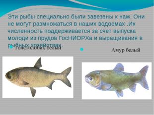 Эти рыбы специально были завезены к нам. Они не могут размножаться в наших во