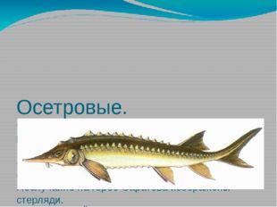 Осетровые. Саратовская губерния всегда славилась своей рыбой, особенно осетр