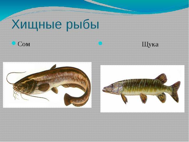 Хищные рыбы Сом Щука
