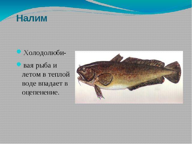 Налим Холодолюби- вая рыба и летом в теплой воде впадает в оцепенение.