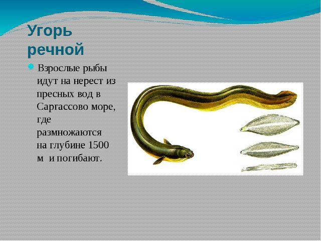 Угорь речной Взрослые рыбы идут на нерест из пресных вод в Саргассово море, г...
