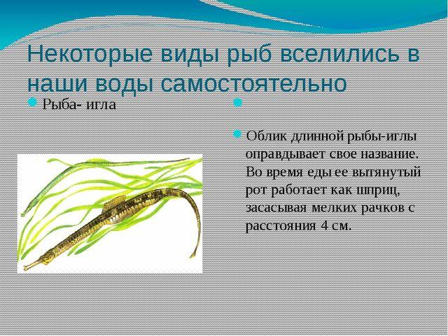 Некоторые виды рыб вселились в наши воды самостоятельно Рыба- игла Облик длин...