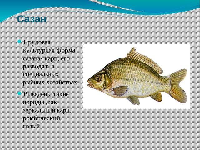 Сазан Прудовая культурная форма сазана- карп, его разводят в специальных рыбн...