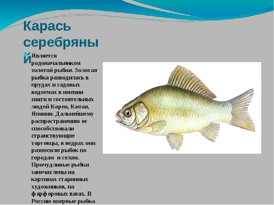 Карась серебряный Является родоначальником золотой рыбки. Золотая рыбка разво...
