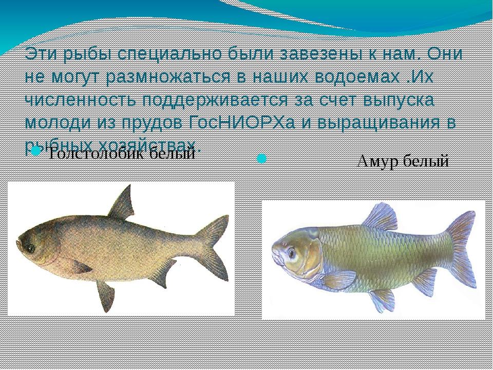 Эти рыбы специально были завезены к нам. Они не могут размножаться в наших во...