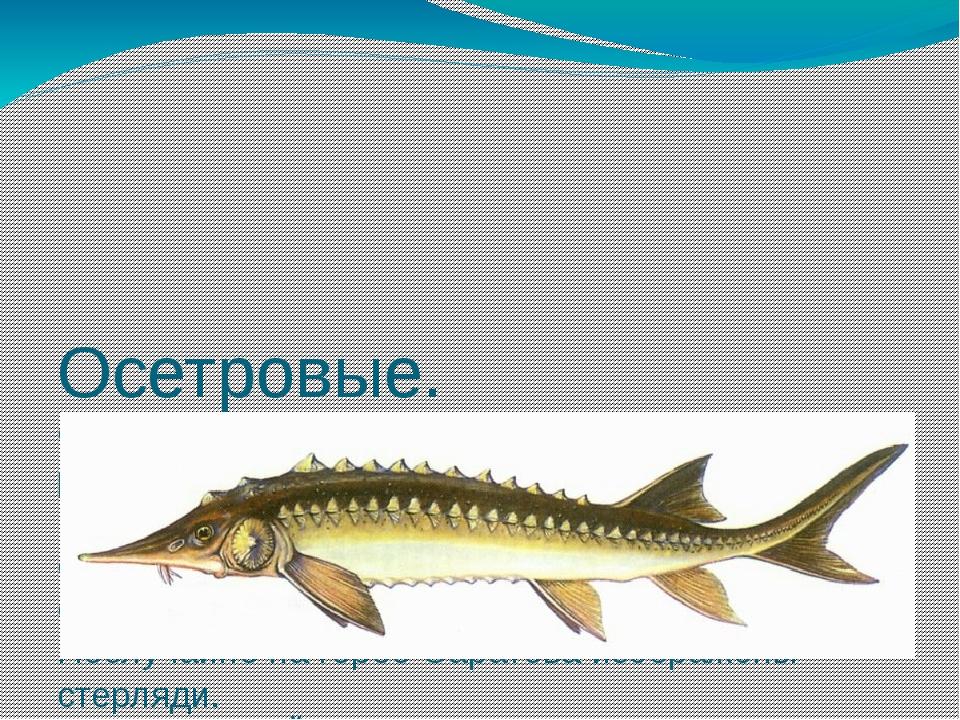 Осетровые. Саратовская губерния всегда славилась своей рыбой, особенно осетр...