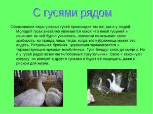 Образование пары у серых гусей происходит так же, как и у людей. Молодой гуса