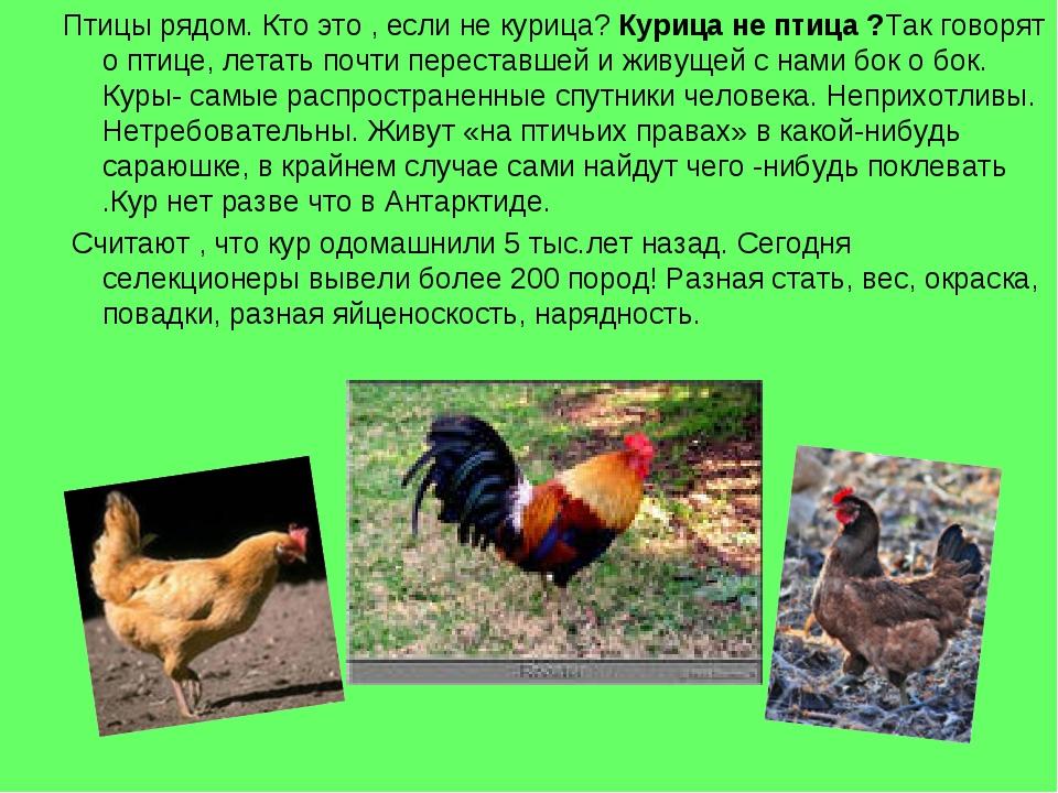 Птицы рядом. Кто это , если не курица? Курица не птица ?Так говорят о птице,...