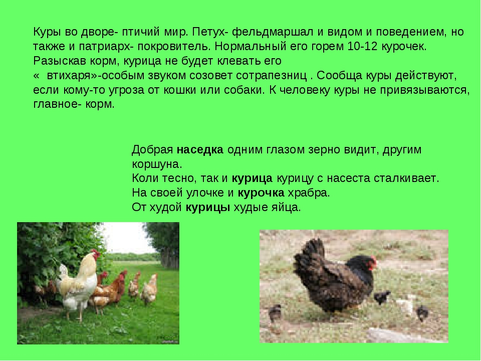 Куры во дворе- птичий мир. Петух- фельдмаршал и видом и поведением, но также...