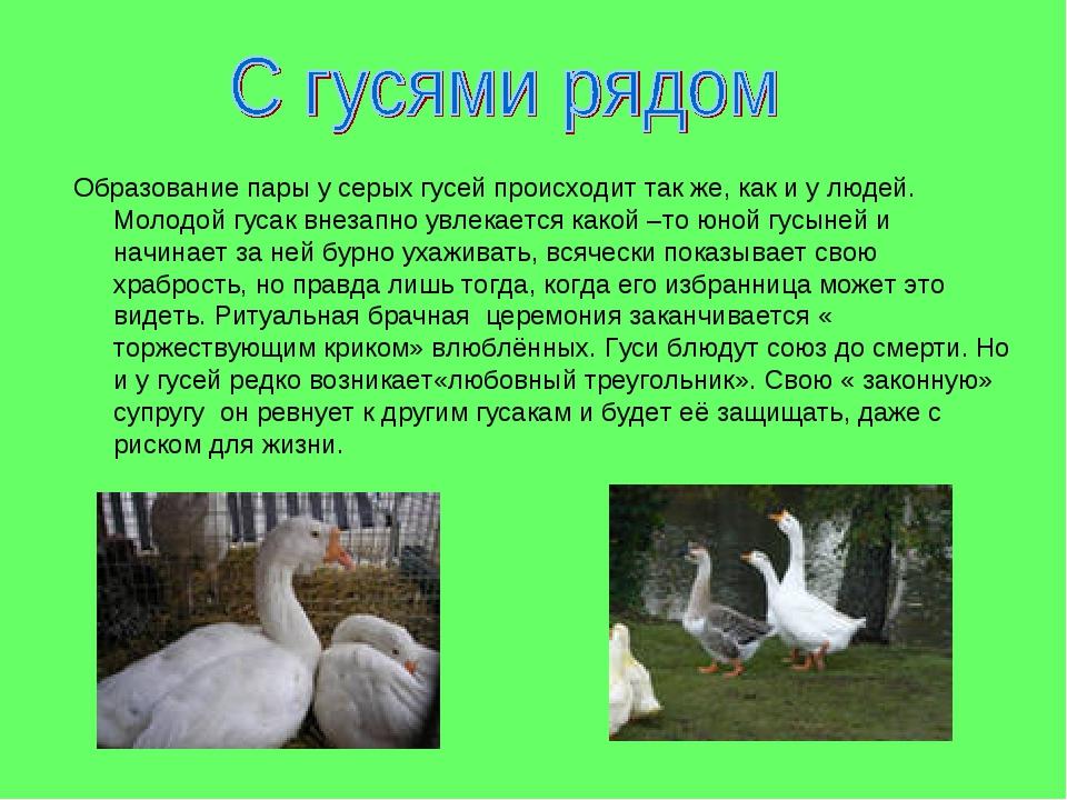 Образование пары у серых гусей происходит так же, как и у людей. Молодой гуса...