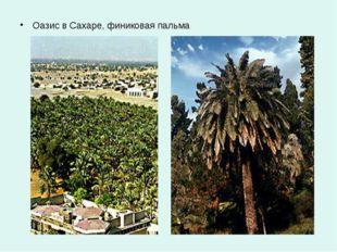 Оазис в Сахаре, финиковая пальма