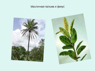 Масличная пальма и фикус