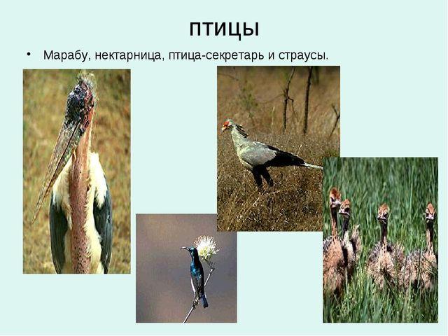 птицы Марабу, нектарница, птица-секретарь и страусы.