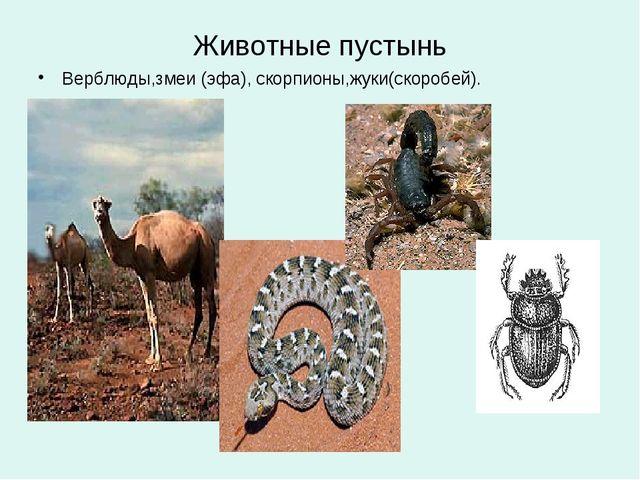 Животные пустынь Верблюды,змеи (эфа), скорпионы,жуки(скоробей).