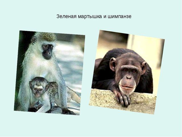 Зеленая мартышка и шимпанзе