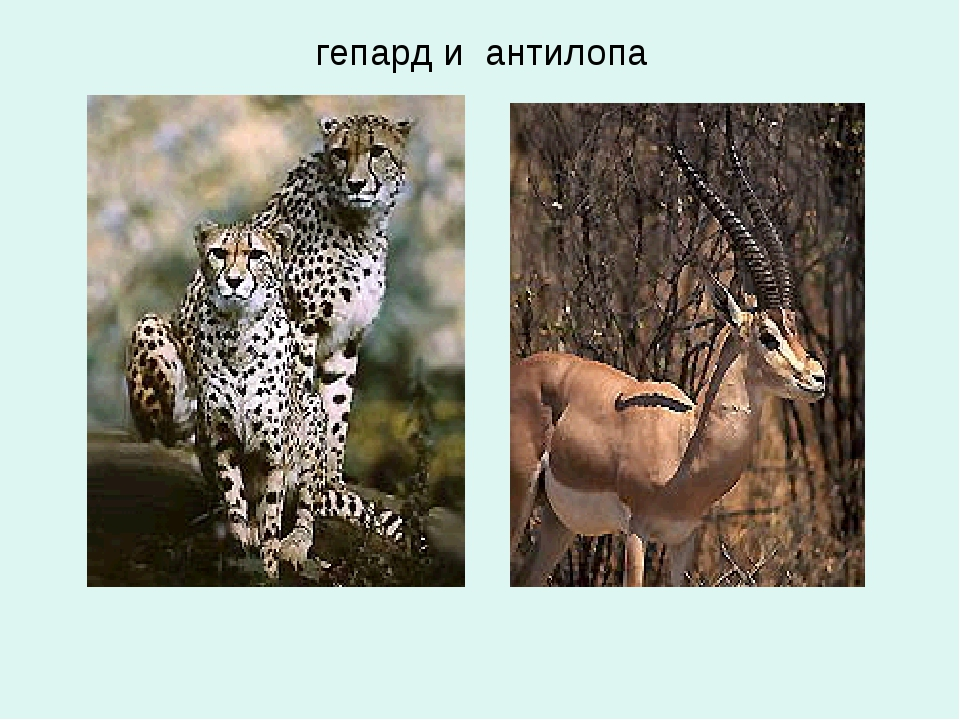 гепард и антилопа