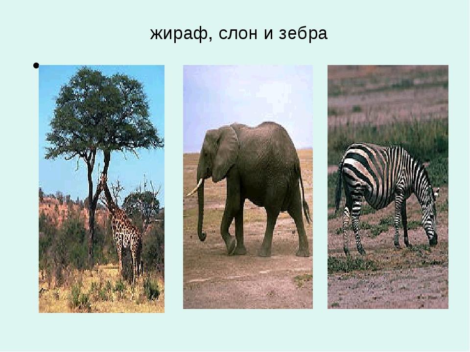 жираф, слон и зебра .