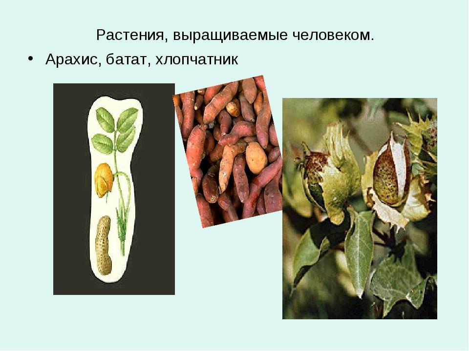Растения, выращиваемые человеком. Арахис, батат, хлопчатник