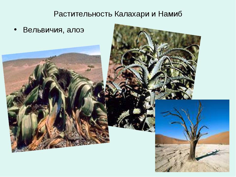 Растительность Калахари и Намиб Вельвичия, алоэ