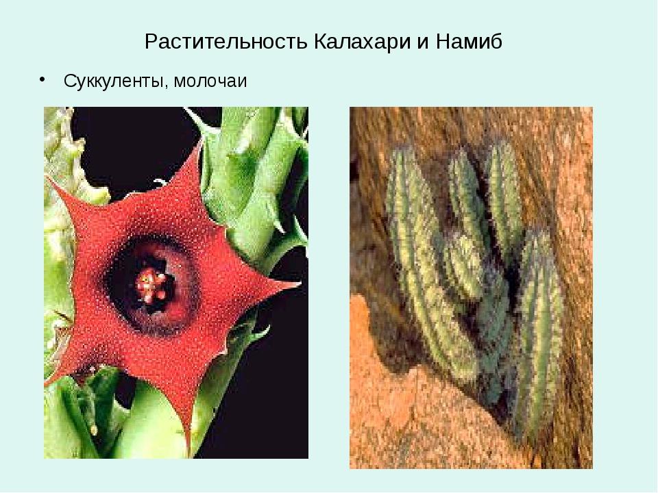 Растительность Калахари и Намиб Суккуленты, молочаи