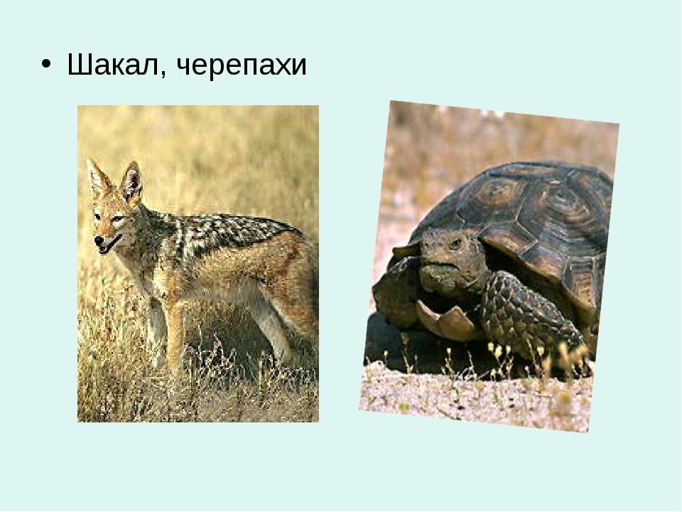 Шакал, черепахи