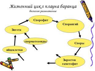 Жизненный цикл плауна баранца бесполое размножение Спорофит Спорангий Споры З