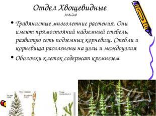 Отдел Хвощевидные 30 видов Травянистые многолетние растения. Они имеют прямос