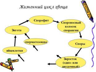 Жизненный цикл хвоща Спорофит Спороносный колосок спорангии Споры Заросток (о