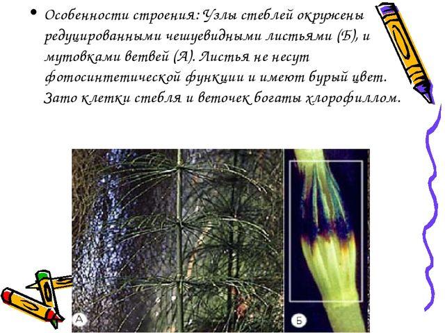Особенности строения: Узлы стеблей окружены редуцированными чешуевидными лист...