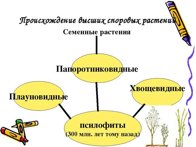 Происхождение высших споровых растений псилофиты (300 млн. лет тому назад) Пл...