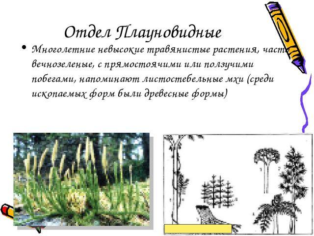 Отдел Плауновидные Многолетние невысокие травянистые растения, часто вечнозел...