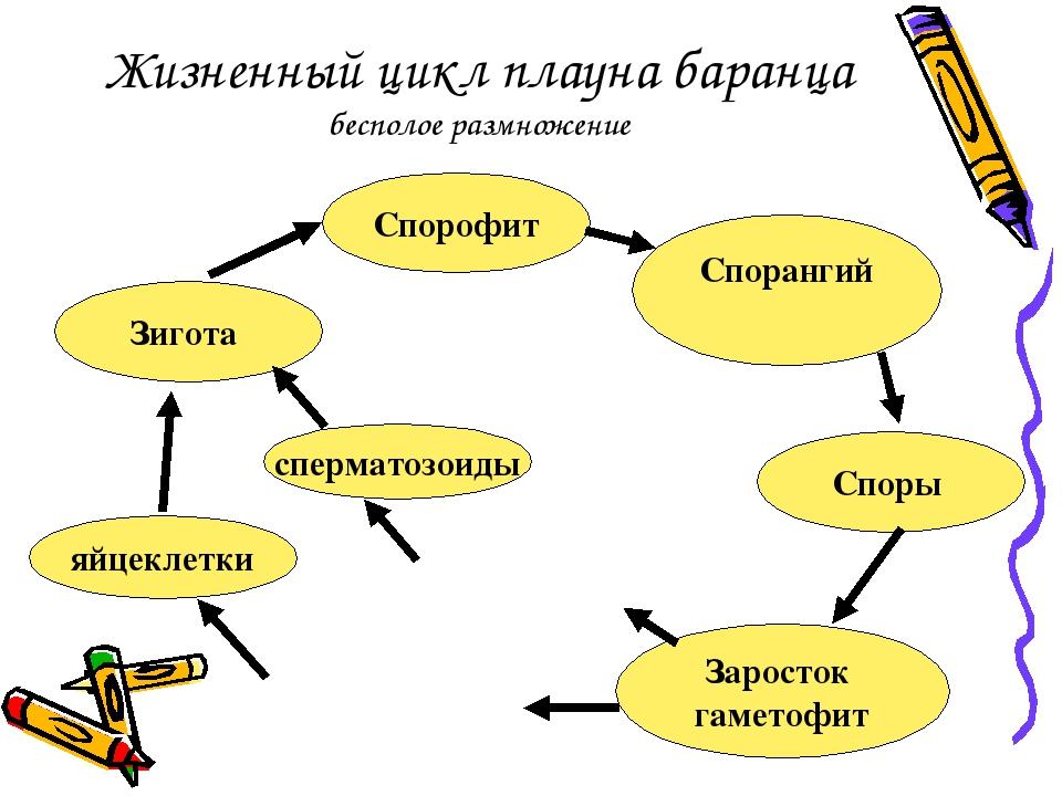 Жизненный цикл плауна баранца бесполое размножение Спорофит Спорангий Споры З...