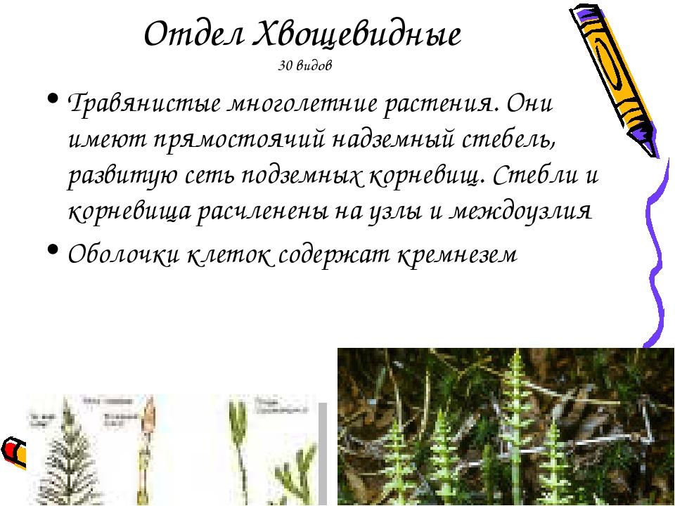 Отдел Хвощевидные 30 видов Травянистые многолетние растения. Они имеют прямос...