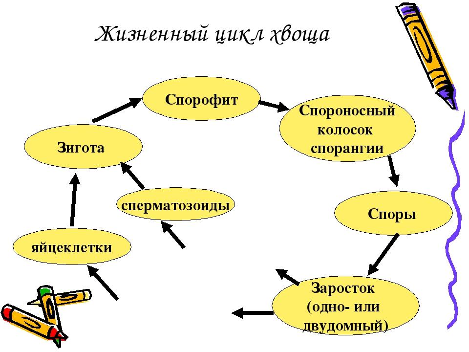 Жизненный цикл хвоща Спорофит Спороносный колосок спорангии Споры Заросток (о...