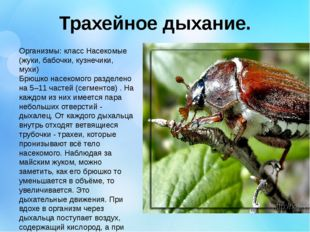 Трахейное дыхание. Организмы: класс Насекомые (жуки, бабочки, кузнечики, мухи