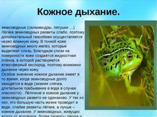 Кожное дыхание. земноводные (саламандры, лягушки …) Лёгкие земноводных развит