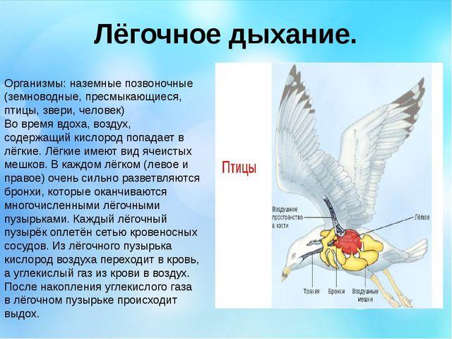 Лёгочное дыхание. Организмы: наземные позвоночные (земноводные, пресмыкающиес...