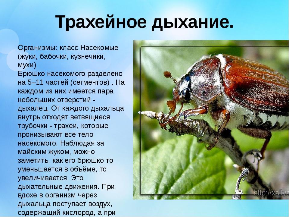 Трахейное дыхание. Организмы: класс Насекомые (жуки, бабочки, кузнечики, мухи...