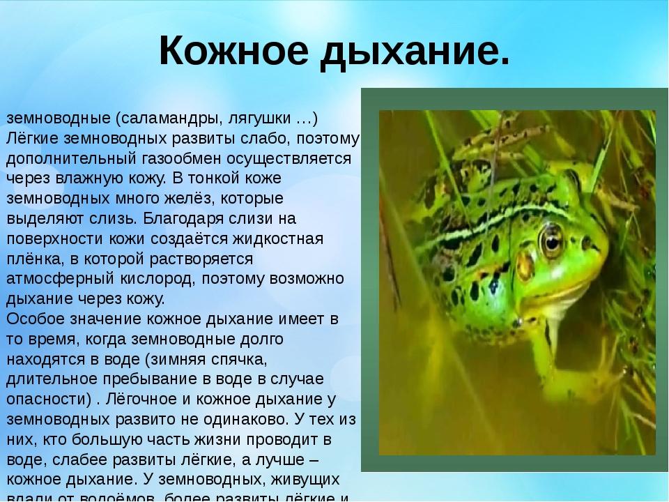Кожное дыхание. земноводные (саламандры, лягушки …) Лёгкие земноводных развит...