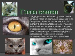 Среди домашних животных у кошки самые большие глаза относительно размеров тел
