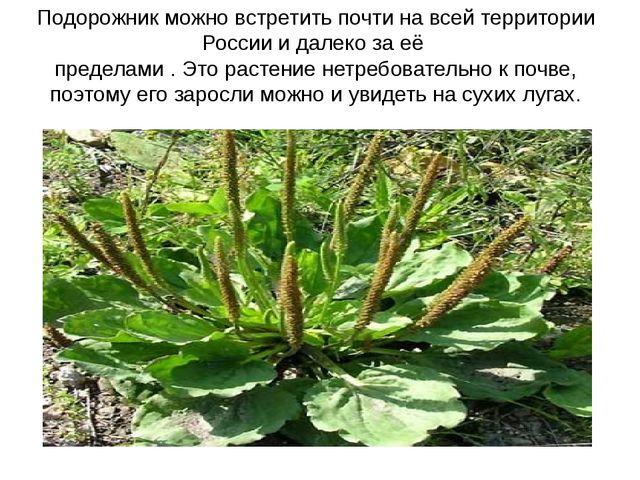 Подорожник можно встретить почти на всей территории России и далеко за её пре...