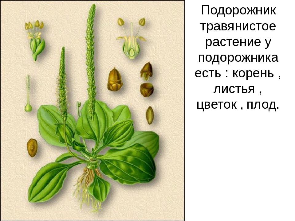 Подорожник травянистое растение у подорожника есть : корень , листья , цветок...