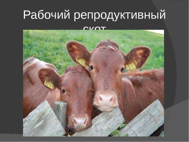 Рабочий репродуктивный скот