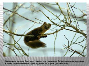 Движения у куницы быстрые, ловкие, она прекрасно бегает по кронам деревьев и