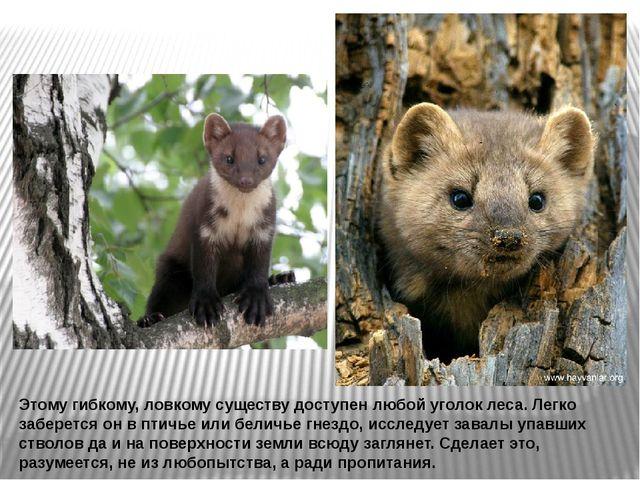 Этому гибкому, ловкому существу доступен любой уголок леса. Легко заберется о...