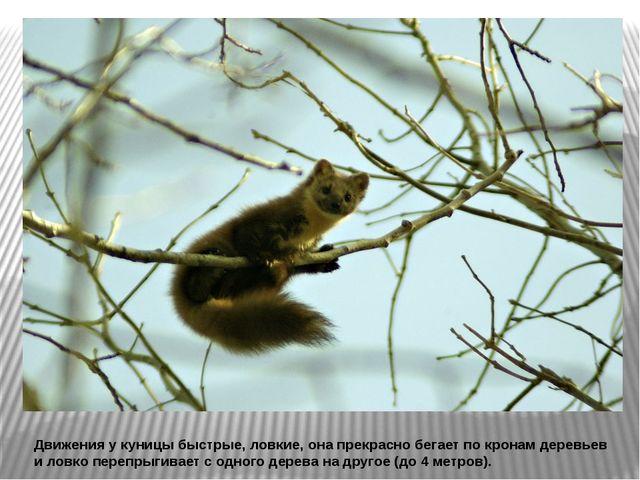 Движения у куницы быстрые, ловкие, она прекрасно бегает по кронам деревьев и...