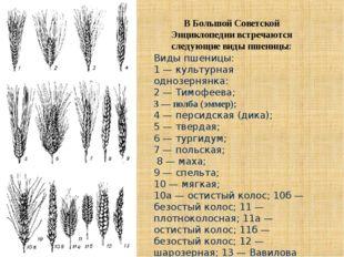 Виды пшеницы: 1 — культурная однозернянка: 2 — Тимофеева; 3 — полба (эммер);